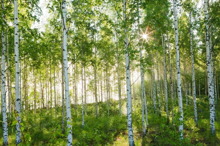 Aalto e la betulla finlandese